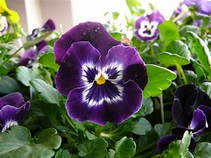 Pansy Flower Wallpaper | Full Desktop Backgrounds