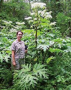 Big, Beautiful and Blister Inducing, Giant Hogweed Shows ...