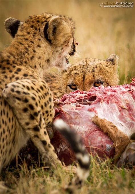cheetahs alison buttigieg travel  photography