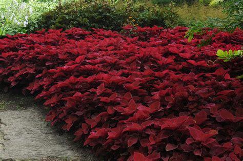 plants coleus coleus adding color to your garden containers and patio pots