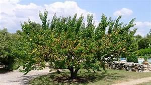 APRICOT_Prunus armeniaca   Fruitipedia