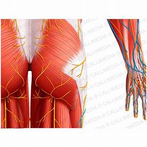 Posterior view - Hip - Superficial muscles, blood vessels ...