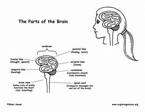 Parts Of The Brain Diagram And Coloring Page