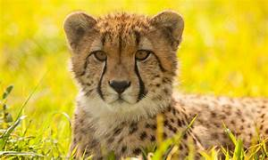 Why Do Cheetahs Have Spots  And Other Cheetah Facts
