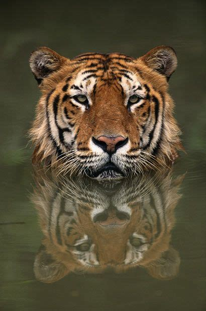 Tiger Reflection Nature Pinterest Beautiful Golden