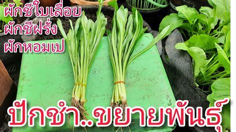 ปักชำผักชีใบเลื่อย หรือผักชีฝรั่ง ขยายพันธุ์แบบง่ายๆสไตล์ ...