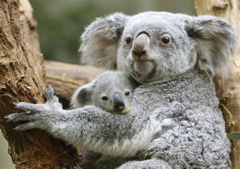 Koalas At Risk For Extinction Due To Deforestation, Human Activity