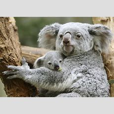 Koalas At Risk For Extinction Due To Deforestation, Human Activity