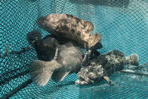 grouper maldivian saving market awaiting shipment hong kong several