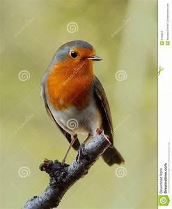 Vogel Mit Roter Brust : robin vogel stockfoto bild von fl gel fr hling birdwatching 6735624 ~ Eleganceandgraceweddings.com Haus und Dekorationen