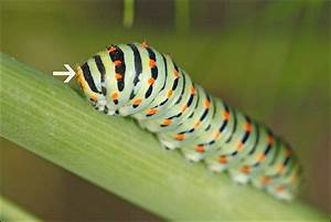 Chenille Verte Fluo : premiers stades de la chenille du papillon machaon ~ Nature-et-papiers.com Idées de Décoration