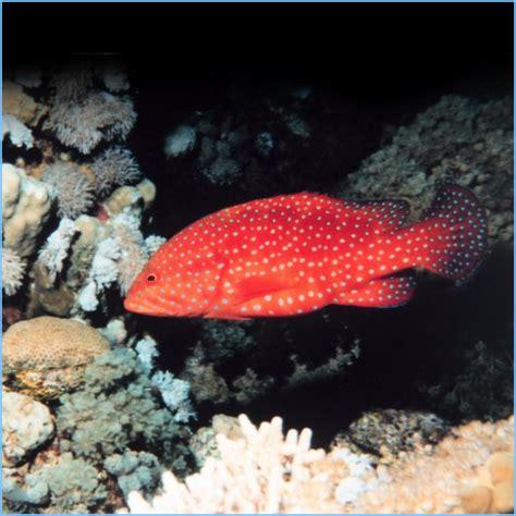 grouper miniatus spot coral fish rockcod cherry aquarium saltwater