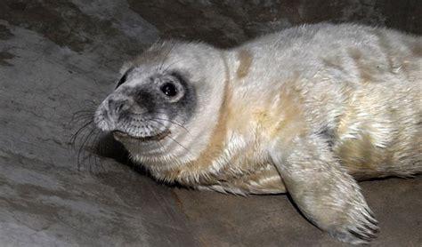 Liepājas pusē piekrastē uziets šopavasar pirmais roņu mazulis