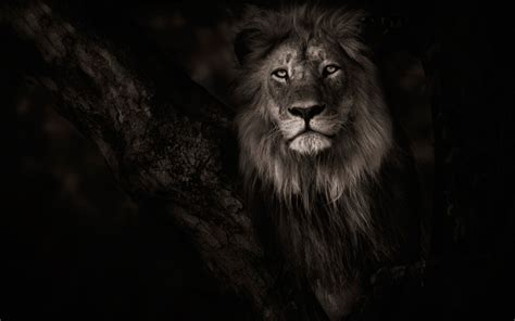 animals lion wallpapers hd desktop  mobile backgrounds