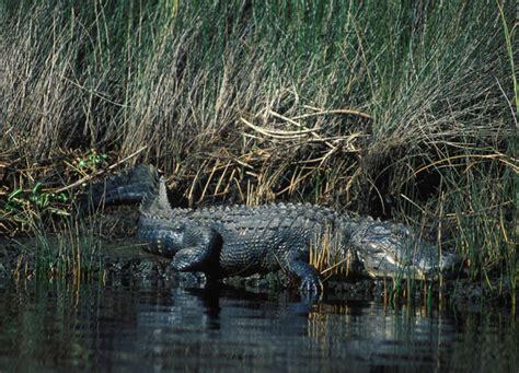 adw alligator mississippiensis information