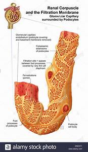Renal Corpuscle And The Filtration Membrane  Glomerular