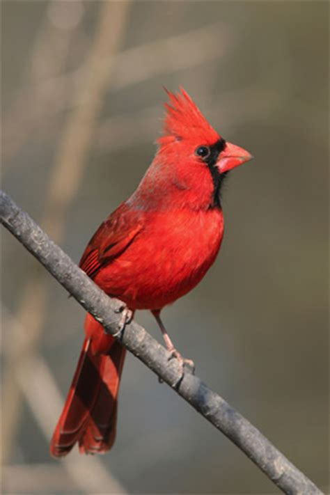 a to z the usa virginia state bird