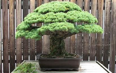 Bonsai Tree Phone Trees