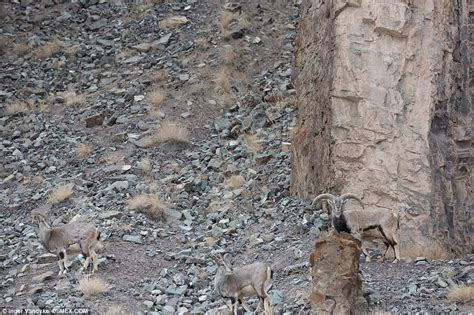 can you spot the snow leopard in inger vandyke s
