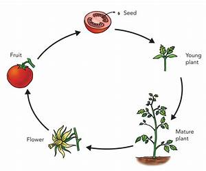 Tomato Life Cycle For Kids