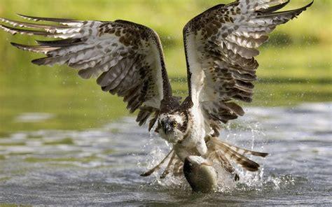 osprey hawk birds  prey water hunting fish