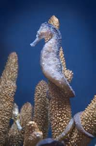 Spotted Seahorse Dragon