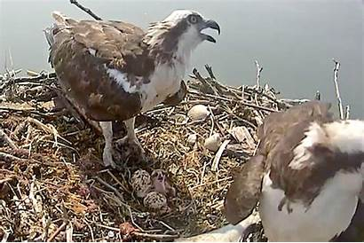 Osprey Nest Siblings Marion Hatches East Its