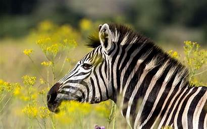 Zebra Theme Rare Wallpapers Cool Nature Summer