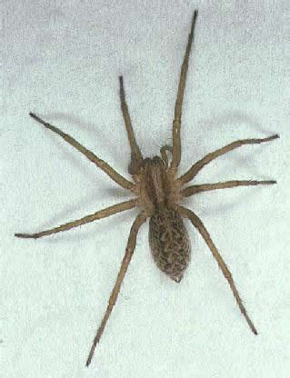 house spider oregon dangerous oregon spiders the big three