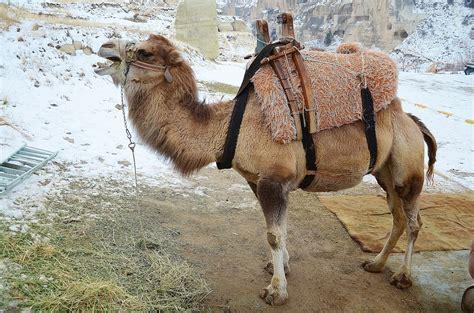 Camel, Animal, Mammal, Travel