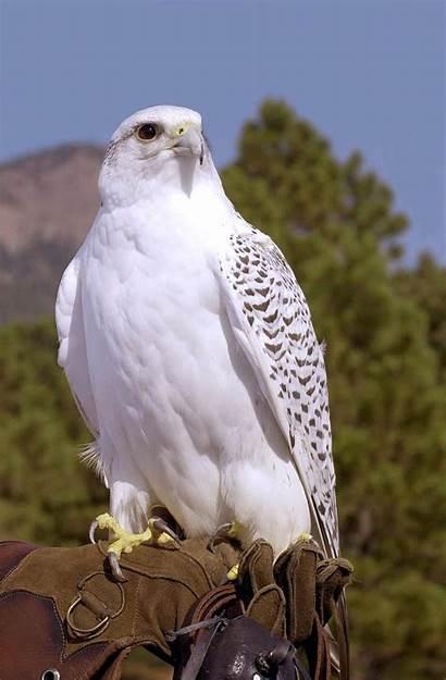 Falcon Hawk Bird Gyrfalcon Mascot Air Force