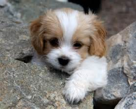 Cute Dogs Dont Shed by Best 25 Small Dogs Ideas On Pinterest Cute Small Dogs