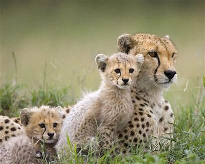 Animals Wild Wallpapers Desktop Animal Cool Cheetah