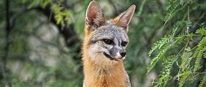 Fox Beast Ears 1080p Dual Wide