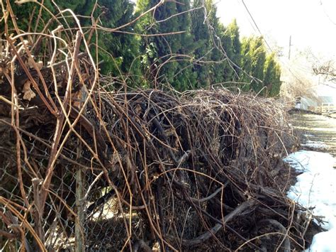how to prune grape vines pruning grape vines gardening pinterest grape vines and gardens