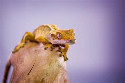crested gecko lighting crested geckos correlophus ciliatus evolution