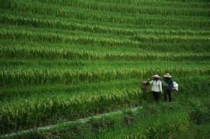 Terrace Rice Farming China