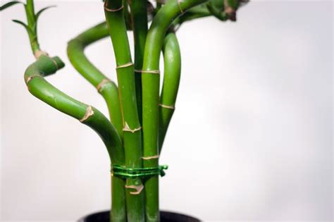 japanese bamboo plant care how to care for bamboo plant bamboo plants plants and bamboo