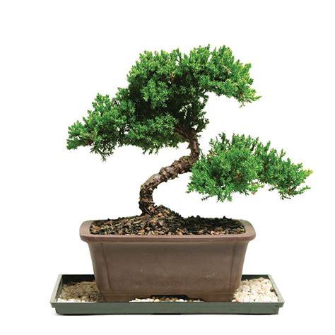 kitchen tea ideas brussel 39 s bonsai green mound juniper bonsai outdoor dt