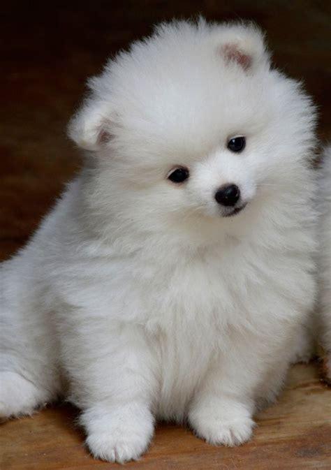 volpino italiano puppies cuccioli  volpino italiano