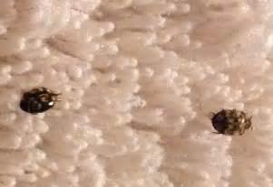 Do Carpet Beetles Look Like Bed Bugs