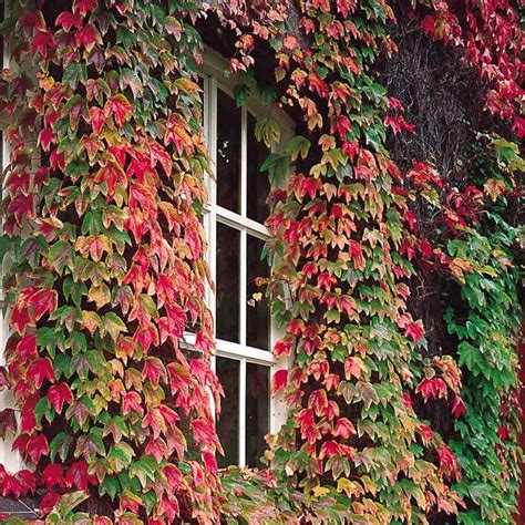 buy boston ivy climbing plants  irelands