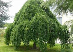 Petit Arbre Persistant : les plus beaux arbres port pleureur inspirations ~ Melissatoandfro.com Idées de Décoration