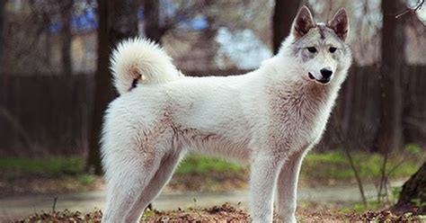 West Siberian Laika #dogs  West Siberian Laika