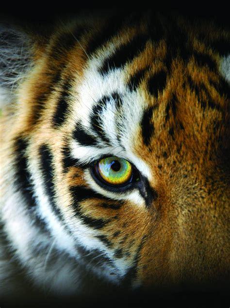 wildlife save tiger ways shutterstock species sumatran america face