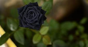 Real Black Rose Flower Images - Life Style By Modernstork.com