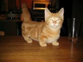 munchkin cat aww cat i want one so bad animals i