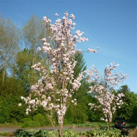 ornamental japanese cherry tree prunus amanogawa bareroot trees scotplants direct