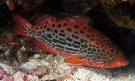 grouper  costa rica sportfishing costa rica fishing