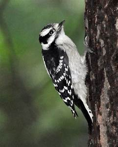 Downy Woodpeckers from Egg to Nestling to Fledgling - The ...